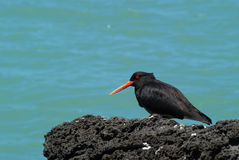 Variable Oystercatcher bird. Sitting on the rock royalty free stock image