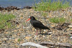 A variable oystercatcher, a bird native to NZ, in natural habitat. The variable oystercatcher Haematopus unicolor, also known as the black oystercatcher is a stock photo
