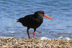 A variable oystercatcher, a bird native to New Zealand. The variable oystercatcher Haematopus unicolor is a wader found only in New Zealand. As its name suggests royalty free stock photo