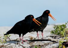 Variable oystercatcher NZ Royalty Free Stock Image