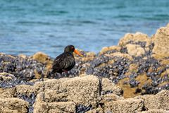 Variable Oystercatcher Searching For Food. New Zealand Oystercatcher bird searches for food among wild blue oysters royalty free stock photo