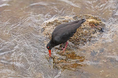 Variable Oystercatcher searching for food on a Rocky Coast. On Stewart Island in New Zealand royalty free stock photo