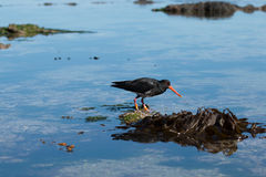 Variable oystercatcher on shallow water. Canterbury, New Zealand royalty free stock image