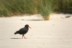 Variable oystercatcher on the shore. New Zealand bird variable oystercatcher on the beach stock photography