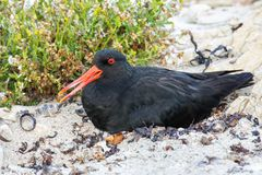 Variable oystercatcher sitting on nest. Kaikoura Peninsula, South Island, New Zealand. It is endemic to New Zealand royalty free stock images