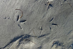 Variable Oystercatcher Tracks. A set of Variable Oystercatcher tracks along the shore of the Pacific Ocean royalty free stock images