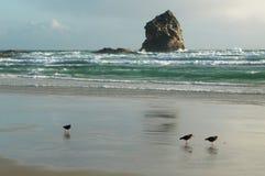 Variable Oystercatchers on beach. Of Pacific ocean, New Zealand stock photos