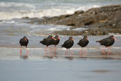 Variable oystercatchers in a line. New Zealand bird variable oystercatchers on the beach stock photos