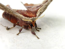 Variable Prince silk moth  Royalty Free Stock Photos