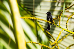 Variable Seedeater Royalty Free Stock Images