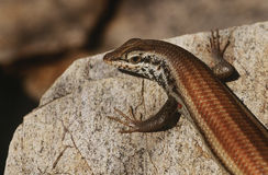 Variable Skink resting on rock elevated view Stock Photos