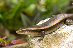 Variable Skink resting on rock elevated view Stock Photography