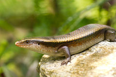 Variable Skink resting on rock elevated view Royalty Free Stock Photo