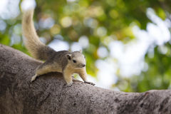 Variable squirrel Stock Image