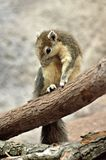 Variable Squirrel Stock Images