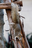 Variable squirrel with white belly coming down on wood Royalty Free Stock Photo