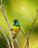 Variable Sunbird Royalty Free Stock Photos