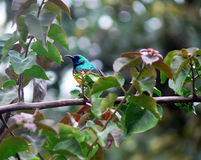 Variable Sunbird, Cinnyris venustus, Rift Valley, Ethiopia. Adult male Variable Sunbird, Cinnyris venustus, in its natural habitat in Ethiopia`s Rift valley royalty free stock photos