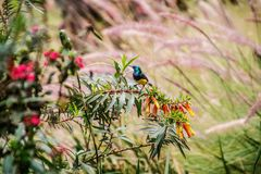 Variable sunbird sitting on a branch of a tree royalty free stock photography