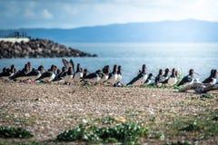 Variabler Austernfänger Lizenzfreies Stockbild