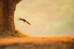 Variables Eichhörnchen, das von einer Wiese zum Baum springt lizenzfreies stockbild
