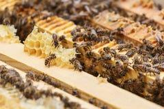 Varias abejas comen los restos de la miel de los panales en una colmena Imagenes de archivo