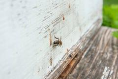 Varias abejas en la entrada de la colmena en colmenar Fotografía de archivo