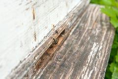 Varias abejas en la entrada de la colmena en colmenar Foto de archivo libre de regalías