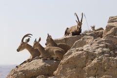 Varias cabras de montaña con los cuernos grandes y cabras sin los cuernos con referencia a Imágenes de archivo libres de regalías