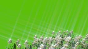 Varias escenas animadas de la flor de la primavera en fondos verdes