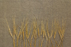 Varias espiguillas del trigo Foto de archivo libre de regalías