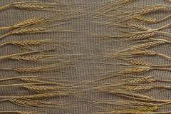 Varias espiguillas del trigo Fotografía de archivo