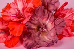 Varias flores del gladiolo palidecen - rosa en un fondo rosado Fotografía de archivo libre de regalías