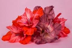 Varias flores del gladiolo palidecen - rosa en un fondo rosado Fotos de archivo libres de regalías
