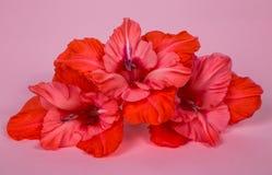 Varias flores del gladiolo palidecen - rosa en un fondo rosado Fotos de archivo