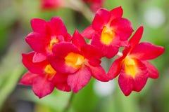 Varias flores rojas de la orquídea imágenes de archivo libres de regalías