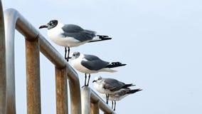Varias gaviotas de risa en la isla Tejas del mustango de la verja metrajes
