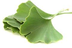 Varias hojas del biloba del ginkgo en el fondo blanco Fotografía de archivo