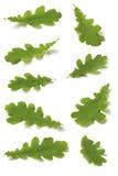 Varias hojas del roble Imagen de archivo