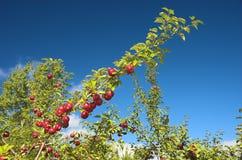 Varias manzanas en una ramificación Imagenes de archivo