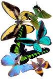 Varias mariposas Fotografía de archivo libre de regalías