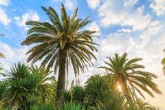 Varias palmeras verdes de diferentes tipos contra la perspectiva del cielo nublado y del sol en el amanecer Foto de archivo