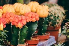 Varias pequeñas pequeñas flores coloridas del cactus de los cactus en potes en tienda Foto de archivo