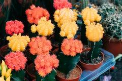 Varias pequeñas pequeñas flores coloridas del cactus de los cactus en potes en el St Fotografía de archivo