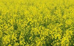Varias plantas de la mostaza en granja fotos de archivo