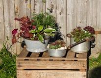 Varias plantas perennes, plantet en utensilios de la cocina del vintage Fotografía de archivo