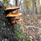 Varias setas de la naranja que crecen en un árbol en el bosque Imagenes de archivo