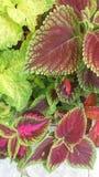 Variated-Buntlippe stockbild