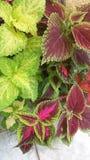 Variated coleus stock photography