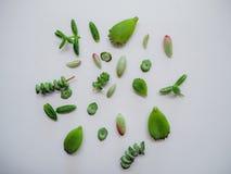 Variation av åtskilliga gröna suckulenta sidor liksom sedumrubrotinctumen, crassulamarnieriana, hjärtbladtomentosa på ett vitt arkivbilder
